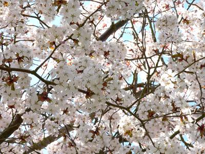 Blossom2